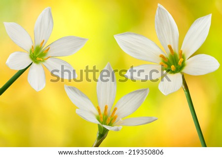 image of three white flowers on a yellow background closeup - stock photo