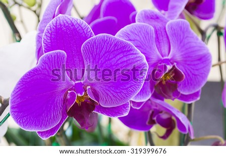 Image of White and purple Phalaenopsis orchids close up . - stock photo