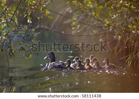 Image of wild duck with a group of young ducklings. Floats down the river under the leaves of trees. Photos and when the contrast is made against the sun. - stock photo