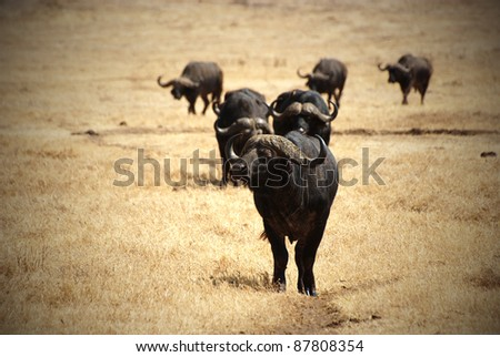 Image with vignetting of an African buffalo group - stock photo