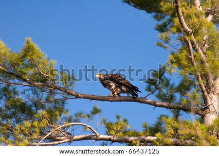 Immature Bald Eagle Perched in a White Pine Tree in Wisconsin - stock photo