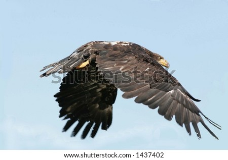 immature bald eagle shot at a bird prey display