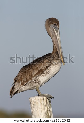 Immature Brown Pelican (Pelecanus occidentalis)  Perched on a Dock Piling - Florida
