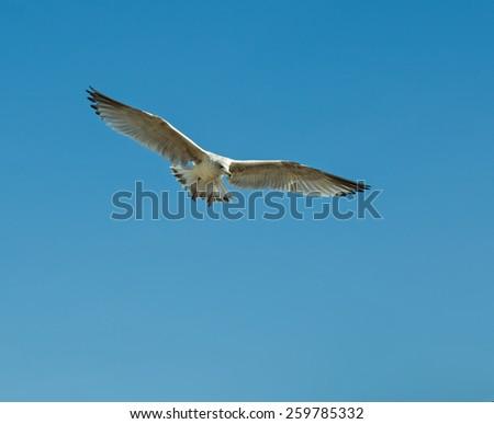 Immature Herring Gull Coming in to land. - stock photo