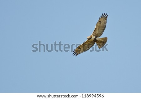 Immature Red-Tailed Hawk Flying in Blue Sky - stock photo
