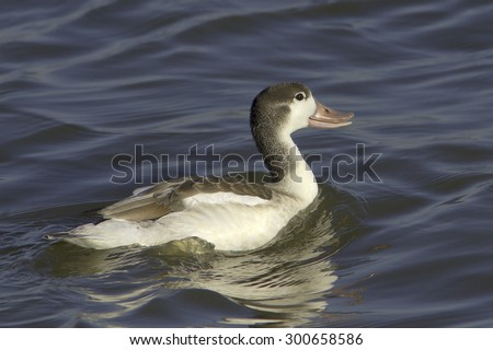 immature shelduck in natural habitat / Tadorna tadorna - stock photo