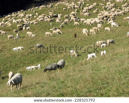 immense flock of sheep and goats grazing in the mountains - stock photo