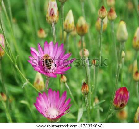 Immortelle flower with bee - stock photo
