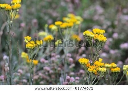 Immortelle - Helichrysum arenarium is also known as dwarf everlas - stock photo