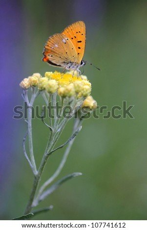 Immortelle - Helichrysum arenarium is also known as dwarf everlast with butterfly - stock photo