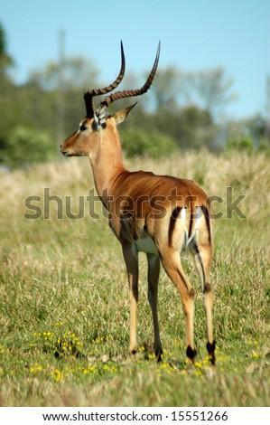 impala adult male antelope lyreshaped horns stock photo. Black Bedroom Furniture Sets. Home Design Ideas