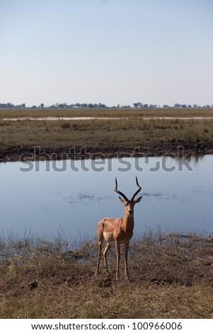 IMPALA (Aepyceros melampus), Chobe National Park, Botswana - stock photo