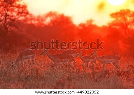 Impala, aepyceros melampus, Kruger national park, South Africa - stock photo