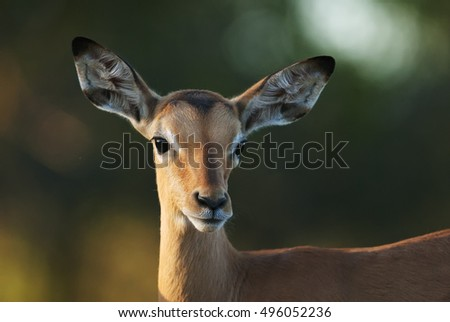 Impala, Aepyceros melampus, young portrait, Kruger National Park, South Africa, wet season