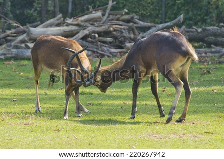 Impala African deers while fighting - stock photo