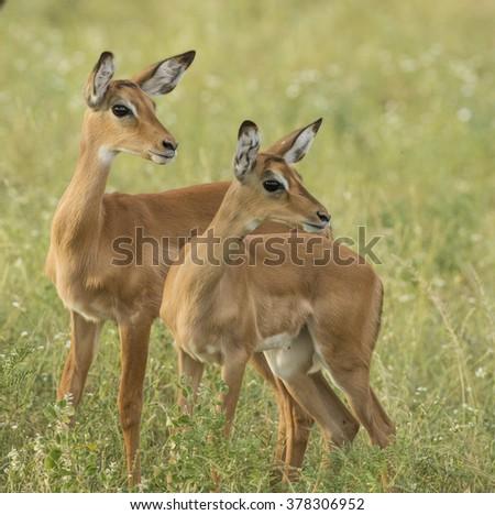 Impala Alerted - stock photo