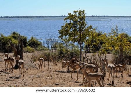 Impala along the Chobe River - stock photo
