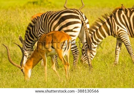 Impala and Zebras on plain, Masai Mara National Reserve, Kenya - stock photo