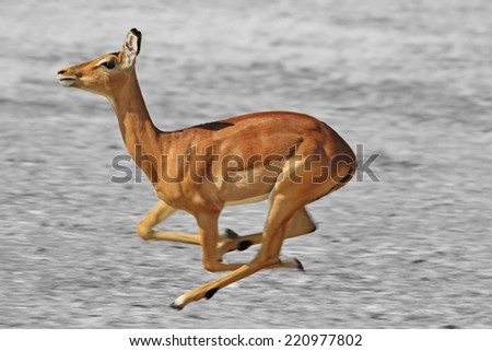 Impala Antelope - African Wildlife Background - Blur of Speed and Run of Life in Selective Coloring on Black and White - stock photo