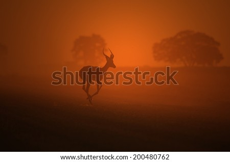 Impala Antelope - African Wildlife Background - Run of Sunset Golden Dust and Beauty