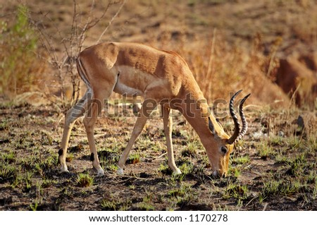 Impala Antelope eating - stock photo