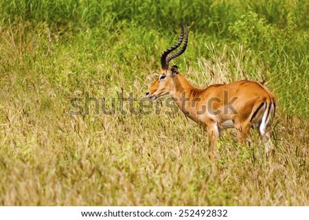 Impala Antelope  Tanzania  Africa - stock photo
