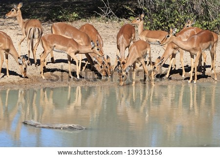 Impala, Common - Wildlife from Africa - Herd gathering at a watering hole on a game ranch in Namibia.  Color, activity, grace and elegance fill the air with Natural Art.