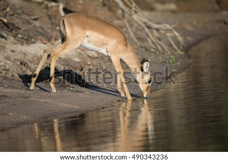 Impala drinking from Chobe River in Botswana Africa