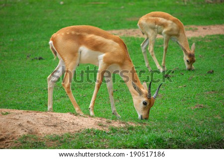 impala eat grass in the zoo - stock photo
