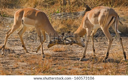 Impala Fighting - stock photo