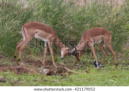 Impala fighting over territory in a dry riverbed