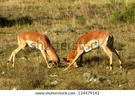 Impala Fighting, South Africa - stock photo