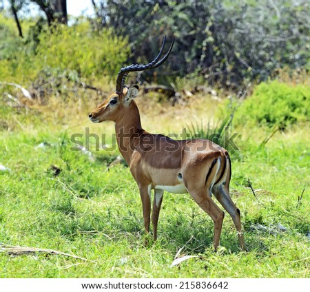 Impala gazelle in the African savannah in the wild