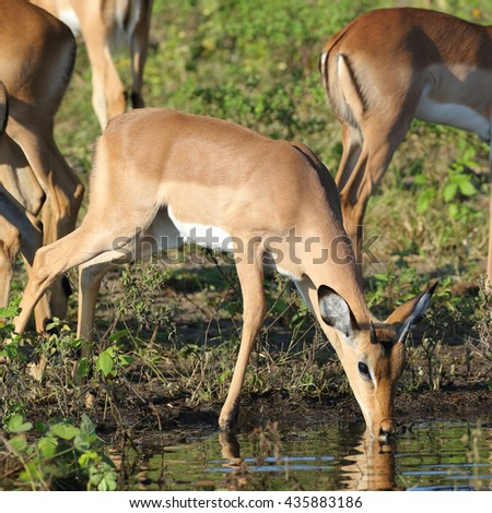 Impala herd coming from grassy embankment to drink water at river