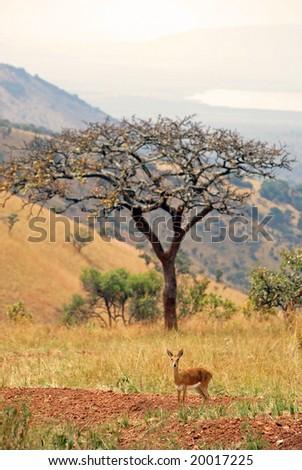 Impala in Akagera NP, Rwanda - stock photo