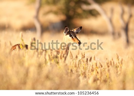 Impala in grass - stock photo