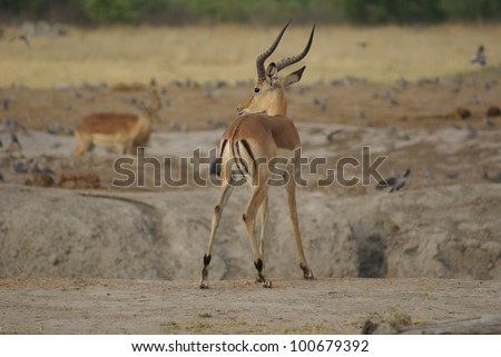 Impala in the Savuti Park, Botswana