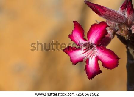 Impala Lily - stock photo