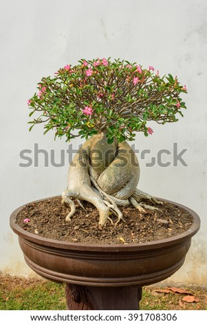 Impala Lily (Adenium obesum) in Potted  - stock photo