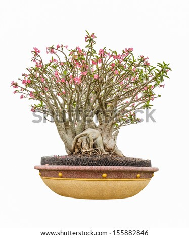 impala lily as bonsai with flowers isolated on white background - stock photo