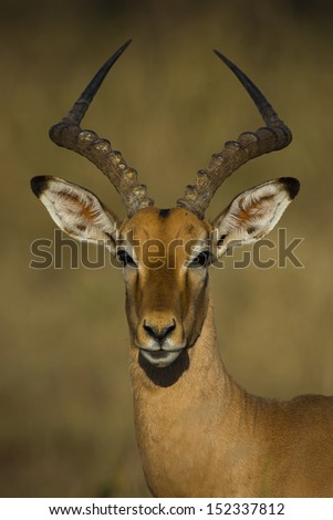 Impala male portrait in golden afternoon light