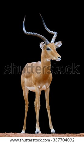 Impala on dark background in Africa, Kenya - stock photo