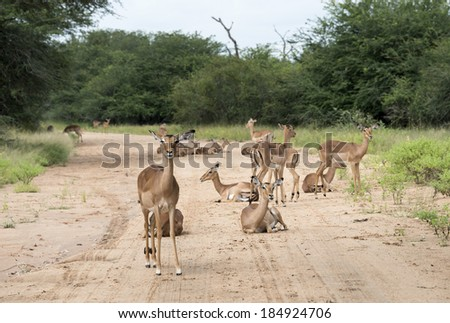 impala on the sand road kruger national park south africa - stock photo
