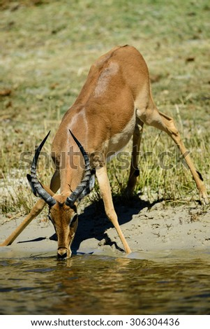 Impala ram drinking from Chobe River, Botswana