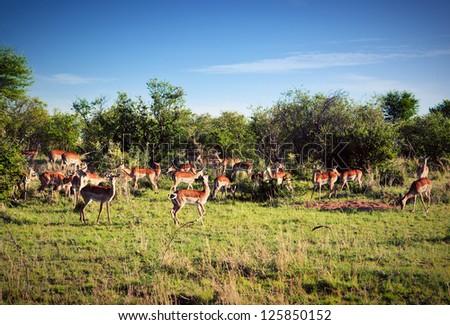 Impala's herd on savanna in Africa. Safari in Serengeti, Tanzania - stock photo