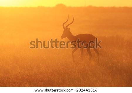 Impala - Wildlife Background from Africa - Loving the Sunset Run - stock photo