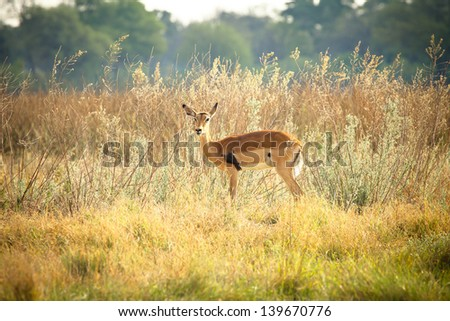 Impala with red-billed oxpecker - stock photo