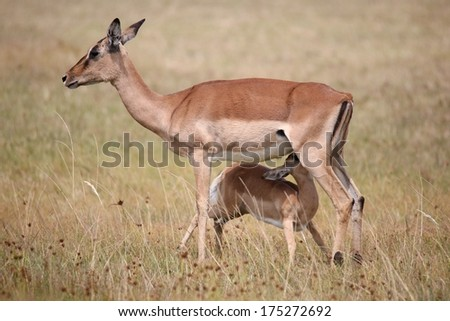 Impala young suckling from it's mother on the grassland in Africa - stock photo