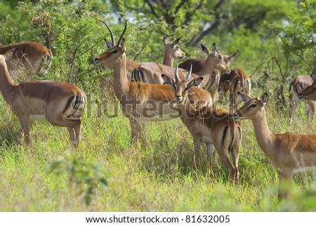 Impalas at Hluhluwe-Umfolozi Game Reserve, located 280 km north of Durban, is the oldest proclaimed park in Africa. In central Zululand, KwaZulu-Natal, South Africa and is known for its rich wildlife - stock photo