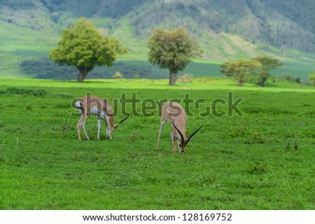 Impalas graze in Ngorongoro crater